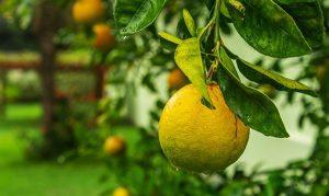 Lo que tal vez no sepas sobre la hermosa fruta amarilla el limón